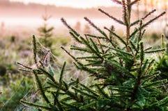 Рано утром в древесинах Сеть паука предусматриванная с налет инеей Стоковое фото RF