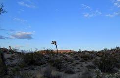 Рано утром дезертируйте ландшафт с ярким голубым небом в долине Калифорнии юкки Стоковые Фотографии RF