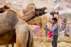 Рано утром деятельность на верблюде справедливом, Раджастхане Pushkar, Индии Стоковые Изображения