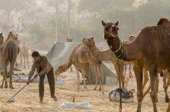 Рано утром деятельность на верблюде справедливом, Раджастхане Pushkar, Индии стоковая фотография rf
