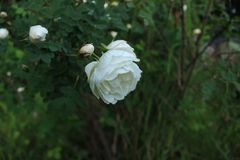 Рано утром розы чая стоковые изображения rf