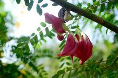 Раньше цветущ, поверены, что возникает тайник в Индии или странах в Юго-Восточной Азии путем устанавливать твердое тело малое Стоковые Изображения RF