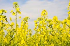 Рапсы желтого цвета Стоковая Фотография
