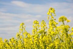 Рапсы желтого цвета Стоковое Фото
