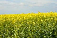 Рапсы желтого цвета Стоковые Фото