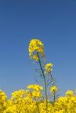 Рапс весной стоковая фотография rf