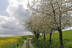 рапс Германии footpath поля Стоковое Изображение