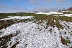 Рапс зимы который хорошо wintered под снегом Стоковое Фото
