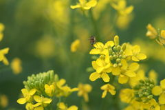 Рапс и пчела Стоковое Изображение RF