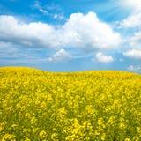 рапс масла цветка поля Стоковая Фотография RF