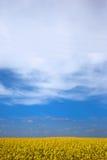 рапс поля сурепки Стоковая Фотография