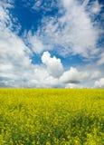 рапс поля цветя Стоковые Изображения