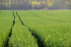 Рапс поля весны зеленый Стоковые Фотографии RF