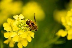 рапс пчелы Стоковые Фото