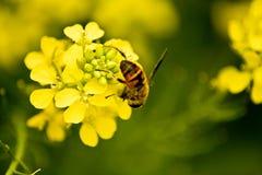 рапс пчелы Стоковое Изображение