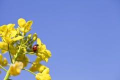 Рапс, пчелы, Стоковое Изображение