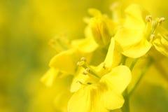 рапс цветений Стоковое Изображение RF