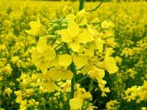 рапс цветения стоковое изображение rf