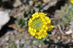 Рапс цветет (капуста Napus) Стоковая Фотография