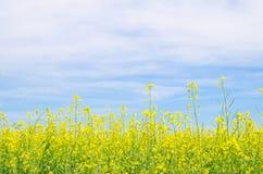 Рапс цветет sy agaist голубое Стоковые Фотографии RF