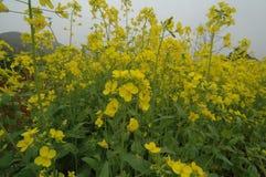 рапс цветка Стоковая Фотография