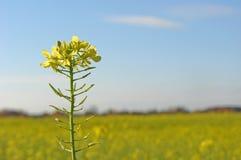рапс цветка стоковое изображение rf