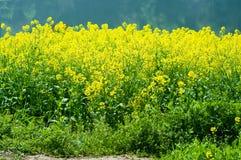 рапс цветка Стоковое Изображение