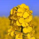 рапс цветка стоковые изображения rf