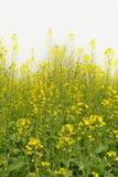 рапс цветка стоковое фото rf