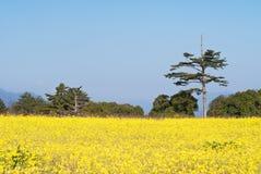 рапс цветков фермы Стоковые Фото
