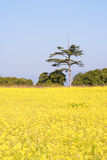 рапс цветков фермы Стоковое Фото