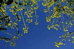 рапс цветков Стоковые Фото