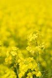 рапс canola золотистый Стоковая Фотография RF