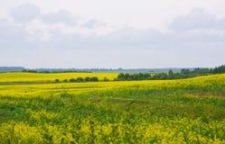 рапс oilseed поля Стоковая Фотография RF