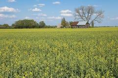 рапс oilseed поля Стоковая Фотография