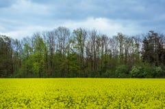 рапс oilseed поля Стоковые Фотографии RF