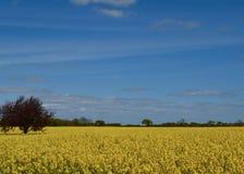 рапс oilseed поля Стоковое фото RF