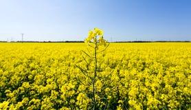 рапс oilseed цветений Стоковое фото RF
