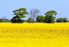рапс oilseed цветений Стоковое Изображение RF