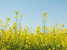 Рапс Oilseed Стоковые Фотографии RF