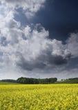 рапс oilseed Стоковое фото RF