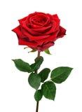 Раскройте красную розу на белизне Стоковые Изображения