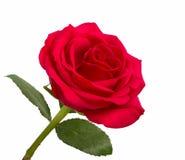 Раскройте красную розу с листьями Стоковые Изображения