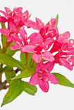 Раскройте красные цветки Стоковое Изображение RF