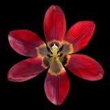 Раскройте красный цветок лилии изолированный на черной предпосылке Стоковое Изображение