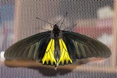 Раскройте крыла бабочки мужчины общей birdwing Стоковые Фото