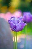Раскройте пурпуровые тюльпаны стоковое изображение rf