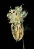 Раскройте стручок milkweed против черноты Стоковое Изображение