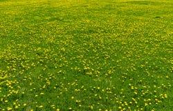 Раскройте лужайку поля infested с засорителями одуванчиков Стоковые Изображения RF