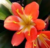Раскройте цветок Clivia Стоковая Фотография RF